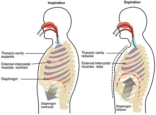 The difference between breathing and respiration - GCSE ...